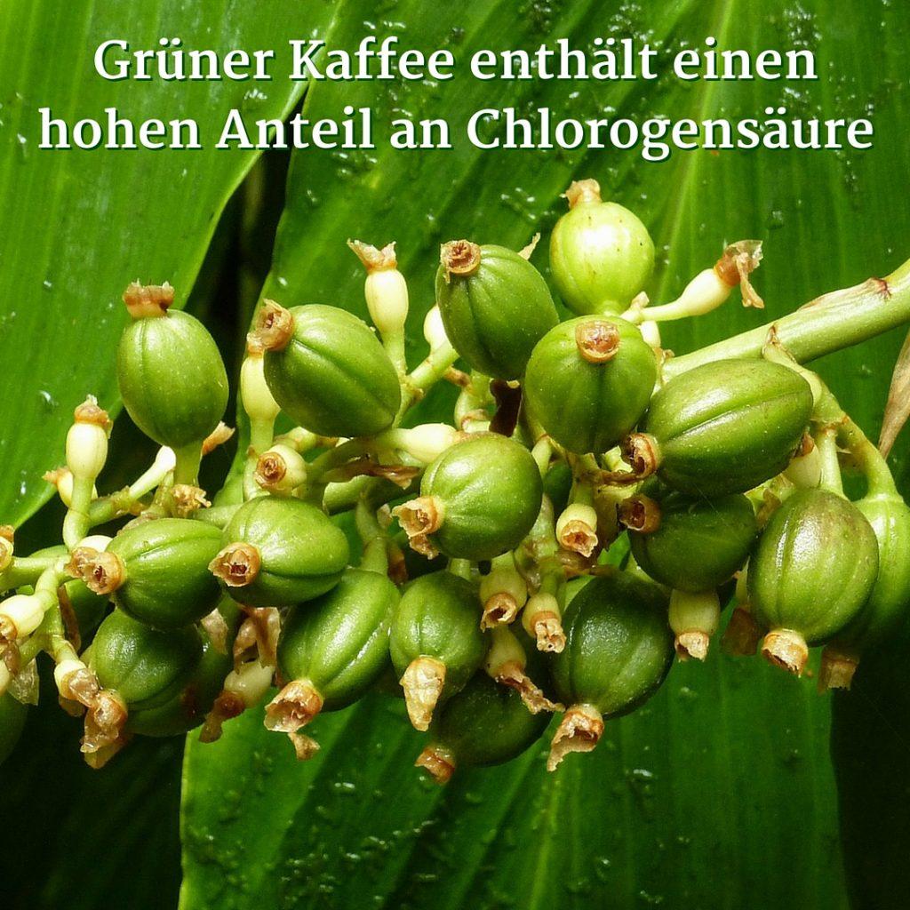 Grüner Kaffee enthält einen hohen Anteil an Chlorogensäure